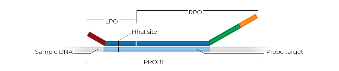 Schematic of an MS-MLPA probe.